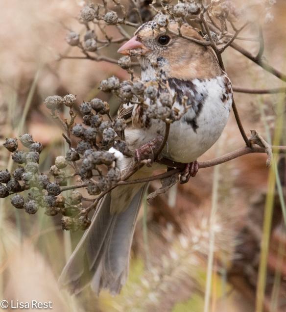 Harris's Sparrow, Lurie Garden, Millennium Park