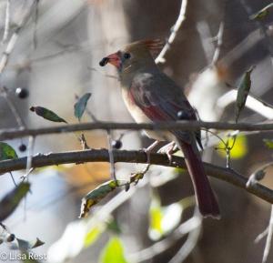 Northern Cardinal, McGinnis