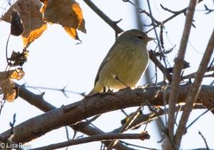 Orange-Crowned Warbler, Portage