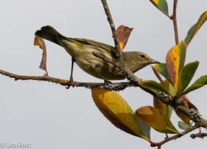 Orange-Crowned Warbler, Lurie Garden
