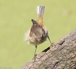 Palm Warbler, Portage