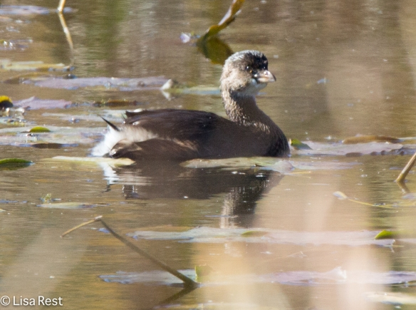 Juvenile Pied-Billed Grebe, McGinnis Slough