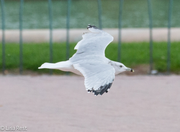 Ring-Billed Gull, Grant Park