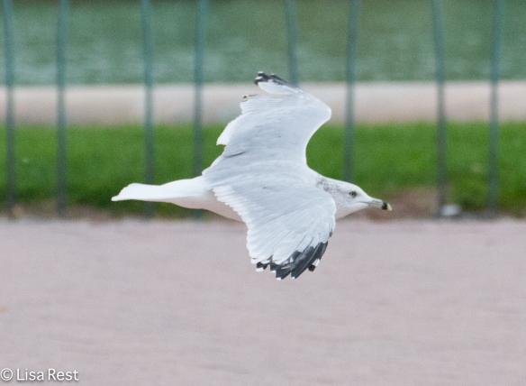 Ring-Billed Gull, Grant Park
