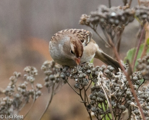 White-Crowned Sparrow 10-16-14