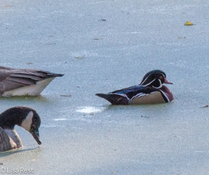 Wood Duck, Chicago Portage