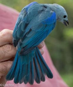 Blue-Grey Tanager 11-10-14-9026