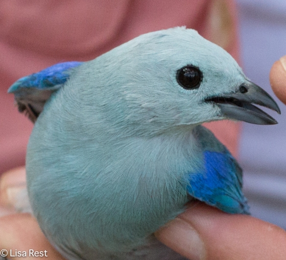 Blue-Grey Tanager 11-10-14-9068
