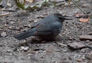 Gray Catbird, Thompson Center