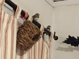 Two New Zebra Finch Guys