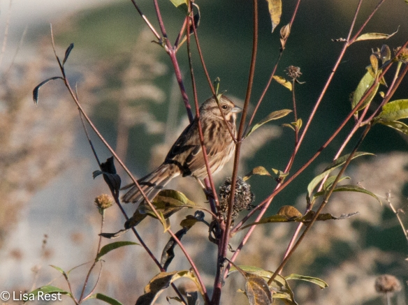 Song Sparrow, Springbrook Prairie