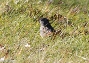 White-Crowned Sparrow 11-3-14