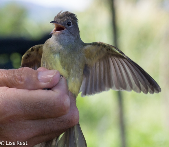 A Yellow-Bellied Elaenia, looking every inch the Tyrant Flycatcher it is