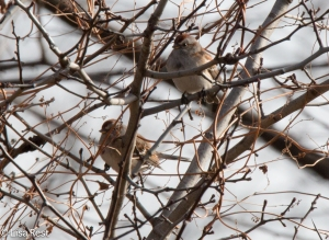 Am Tree Sparrows Portage Woods 12-28-14-9422