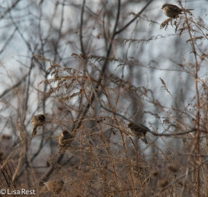 American Tree Sparrows at the Portage