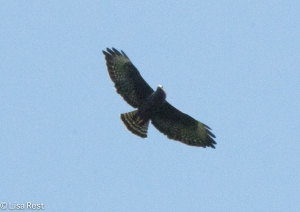 BW Hawk Species 11-12-14-5868