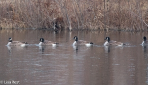 Canada Geese at Cermak Woods 12-28-14-9096