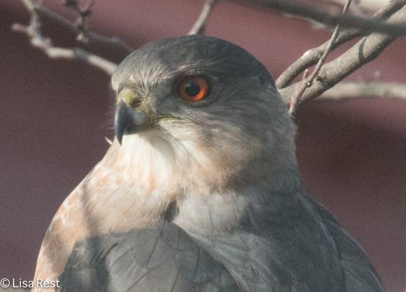 Cooper's Hawk 11-28-14