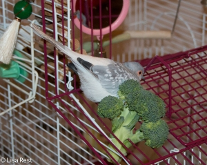 Dudlee hiding behind the broccoli