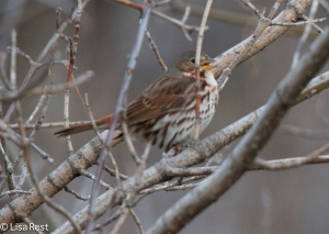 Fox Sparrow, singing