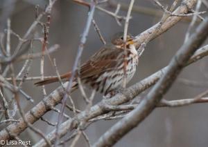 Fox Sparrow, singing