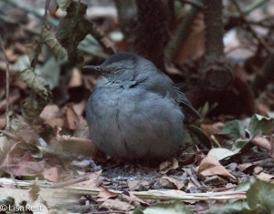 Gray Catbird Thompson Center 12-30-14-9549