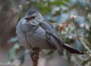 Gray Catbird Thompson Center 12-30-14-9563