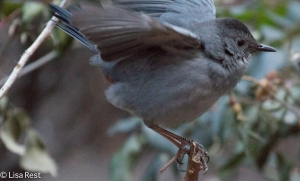 Gray Catbird Thompson Center 12-30-14-9570