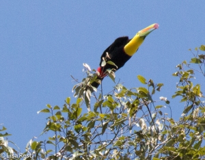 Keel-Billed Toucan 11-12-14-5916