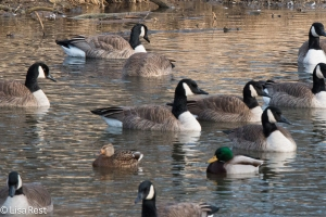 Mallards with Canada Geese at the Portage