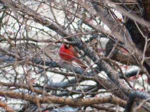 N Cardinal Millennium 12-30-14-9647