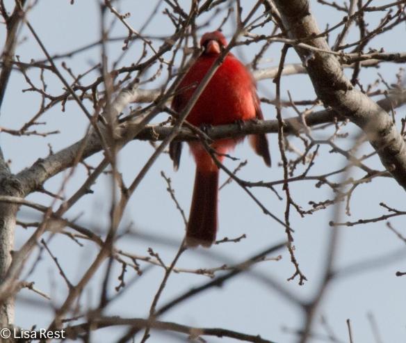 Northern Cardinal at Portage Woods
