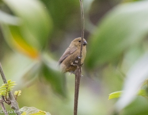 Female Variegated Seedeater