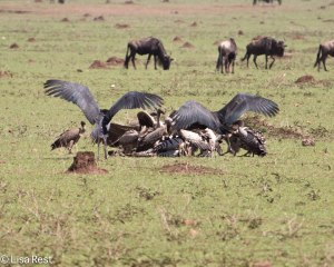 Vultures Serengeti 11-24-13 8538.jpg-2