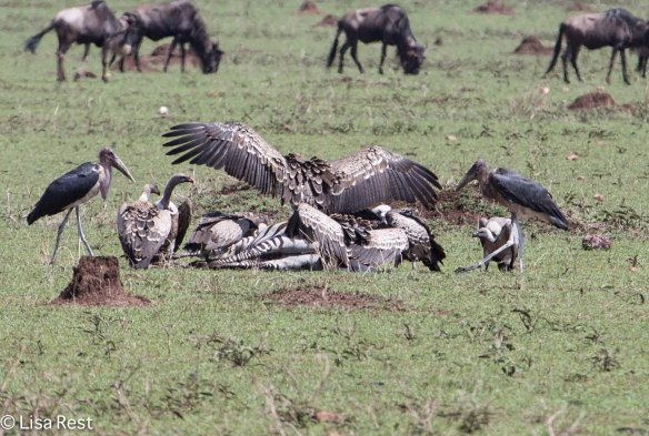 Vultures & Storks at Zebra Kill 11-24-13 8529.jpg-2