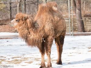 Camel Brookfield Zoo 1-18-15-0561