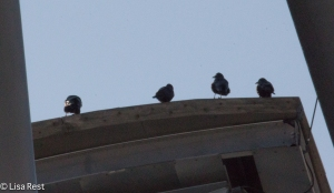 Crows on the Pritzker 1-15-15-0315