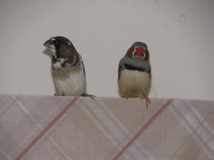 A Society Finch, and a Zebra Finch