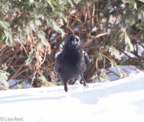 Snow Crow 1-15-15-0382