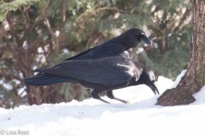 Snow Crow 1-15-15-0412