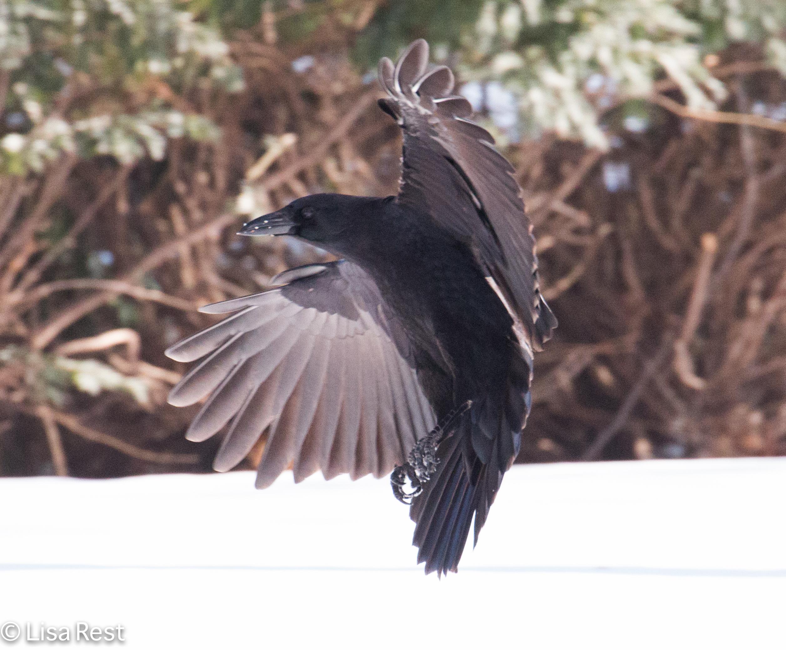 Crow Flying Upside Down Snow Crow