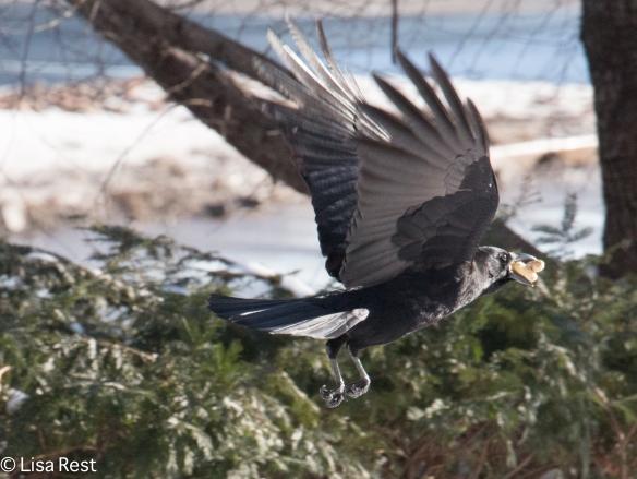 Snow Crow 1-15-15-0457