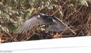 Snow Crow 1-15-15-0483