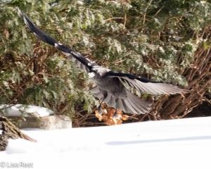 Snow Crow 1-15-15-0484