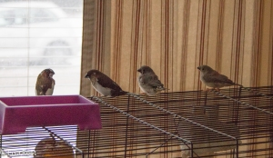 Society Finches and 2 Zebra Finch Fledglings