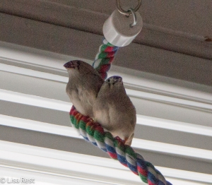 Zebra Finch Fledglings 1-11-15-0123
