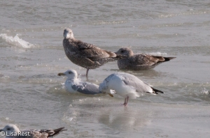 First Cycle Great Black-Backed Gull