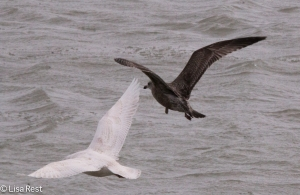 Second Cycle Iceland Gull and First Cycle Herring Gull