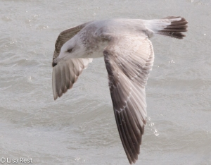 Second Cycle Herring Gull