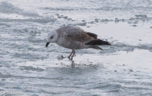 Second Cycle Lesser Black-Backed Gull